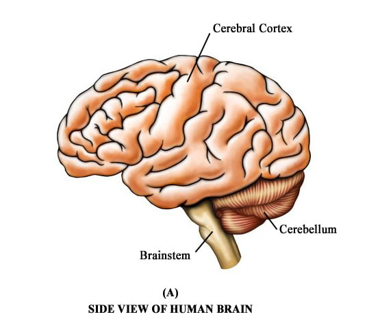 Core Consciousness Sideview Brain